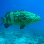 A goliath grouper that entertained divers under the boat