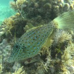 A scrolled filefish